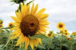 kwiat słonecznika z nasionami